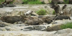 Drowned wildebeest carcasses in the mara river, with vultures
