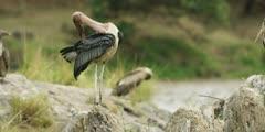 Marabou Stork preening, mara river in background