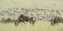 Large herd of migrating wildebeest, focus pull from hillside to grazing gnus
