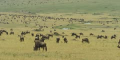 Large herd of migrating wildebeest, pan along hillside