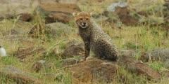 Cheetah cubs walk to mother, close shot