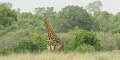 Masai Giraffe, standing in the bush, medium shot