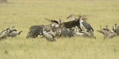 Vultures and Marabou storks fighting over wildebeest kill