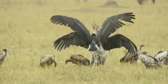 Marabou Storks fighting over kill