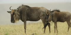Wildebeest mother and calf