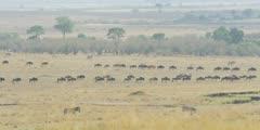 Wildebeest herd heading toward the river, lines of gnus converging
