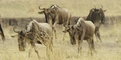 Wildebeest herd heading toward the river, approaching camera, zoom out
