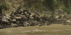 Wildebeest trying to get out of Mara River, trampling each other