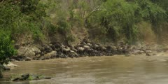 Wildebeest trying to get out of Mara River, trampling each other, wide
