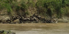 Wildebeest climbing over each other trying to get out of river