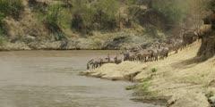 Zebras consider following the wildebeest