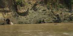 Wildebeest slipping on rocks then gets taken by croc
