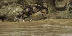 Wildebeest crossing the Mara river, large croc approaches