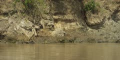 Baby wildebeest stranded on cliff