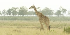 Masai Giraffe walking, medium wide