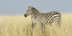 Zebra in the grass, pair walk away
