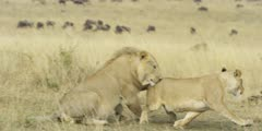 Lion courtship, lioness approaches male then gets chased away