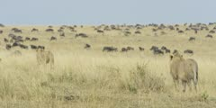 Lions walking toward wildebeest herd