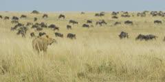 Lion watching wildebeest herd, wide shot