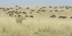 Lion watching wildebeest herd, wide shot 2