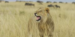Lion exhibiting flehmen response