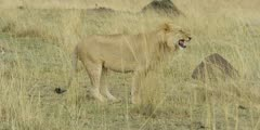 Lion exhibiting flehmen response, wide
