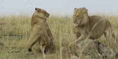 Lion courtship, lioness teases then snarls at male