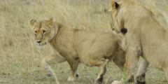 Lion courtship, lioness approaches male then runs away