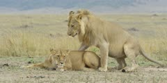 Lion courtship, lioness approaches male then walks off