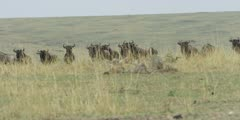 Wildebeest looking toward lions