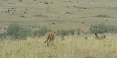 Lions walking toward wildebeest herd, wide