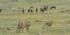 Lions walking toward wildebeest herd, medium