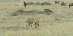 Lions running toward wildebeest