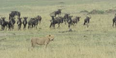 Lion walking watched by wildebeest