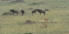 Lions lying near wildebeest herd