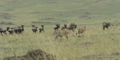 Lions walking toward wildebeest run away