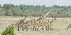 Masai Giraffe - large herd