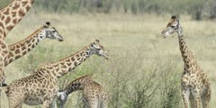 Masai Giraffe, large herd, close shot