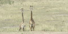 Masai Giraffe, pair of young animals looking toward camera