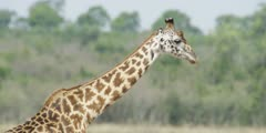 Masai Giraffe, close of head and neck walking