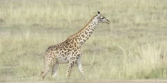 Young Masai Giraffe walking