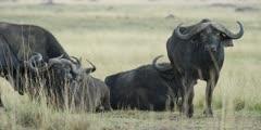 Buffalo looking at camera, medium shot