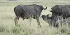 Pan of herd of buffalo