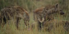 Hyenas eating wildebeest calf alive, calf struggling, medium shot