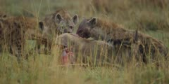 Hyenas eating wildebeest calf alive, calf being pulled, close shot