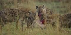 Hyenas kill wildebeest calf, bloody faces biting, medium close shot