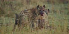 Hyenas eating wildebeest calf, close shot, one looks round