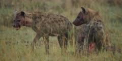 Hyenas eating wildebeest calf, one walks away, medium close