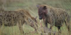 Hyenas eating wildebeest kill, one looks up, close shot
