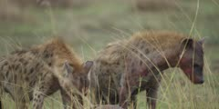 Hyenas on wildebeest kill, ripping bloody flesh, close shot